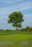 Arbre avec la feuille verte sur le fond blanc en Thaïlande Images libres de droits