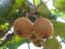 Arbre avec le kiwi de fruit Image libre de droits