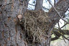 Arbre avec le nid d'oiseau dans les branches Photos libres de droits