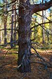 Arbre avec les branches sèches dans la fin dense de forêt de pin  Secteur de conservation de forêt Parc naturel images stock