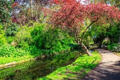 Arbre avec les feuilles rouges à la nouvelle promenade de rivière, Londres Photo libre de droits
