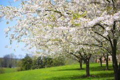 Arbre avec les fleurs blanches de ressort de la cerise dans le jardin Image libre de droits