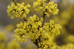 Arbre avec les fleurs jaunes Photos stock