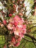 Arbre avec les fleurs roses Photographie stock