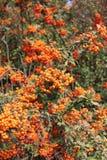 Arbre avec les fruits ronds oranges Image libre de droits