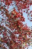 Arbre avec les fruits ronds rouges Images libres de droits