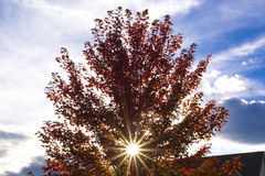 Arbre avec les lames d'automne rouges Image stock