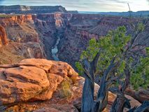 Arbre avec les lames vertes Toroweap donnent sur de Grand Canyon Natio image stock