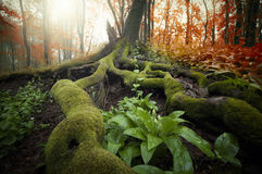 Arbre avec les racines énormes couvertes de la mousse et d'usines vertes dans une belle forêt en automne Photographie stock libre de droits