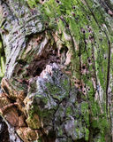 Arbre avec les trous multiples de ver de bois photos stock