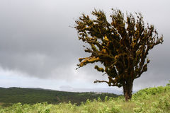 Arbre balayé par le vent solitaire, îles de Galapagos, Equateur Image libre de droits