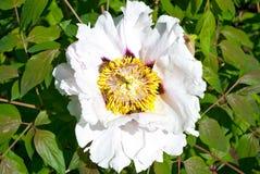 Arbre blanc de fleur de pivoine Images stock