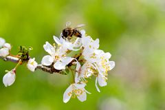Arbre blanc de floraison au printemps - jardin de printemps ou verger de Photo stock