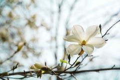 Arbre blanc de floraison de magnolia au printemps sur le fond de ciel Foyer sélectif photographie stock