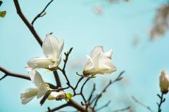 Arbre blanc de floraison de magnolia au printemps sur le fond de ciel Foyer sélectif image libre de droits