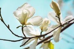Arbre blanc de floraison de magnolia au printemps sur le fond de ciel Foyer sélectif images stock