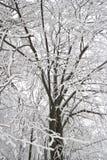 Arbre blanc de l'hiver Images libres de droits