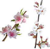Arbre blanc de ressort fleurissant deux branches Image stock