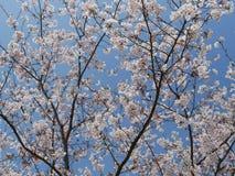 Arbre blanc de Sakura en pleine floraison photographie stock libre de droits