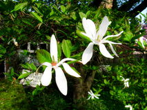 Arbre Bloomy de magnolia avec de grands whiteflowers Photographie stock