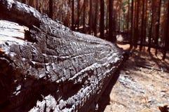 Arbre brûlé Image stock