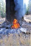 Arbre brûlant dans la forêt Images stock
