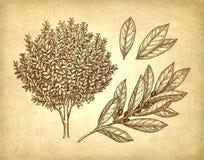 Arbre, branche et feuilles de laurier de baie illustration stock