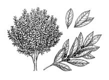 Arbre, branche et feuilles de laurier de baie illustration de vecteur