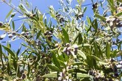 Arbre, buisson avec l'élevage, olives de maturation photos libres de droits