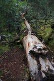Arbre cassé dans la forêt Image libre de droits