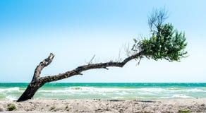 Arbre cassé incurvé avec les brindilles sèches et les feuilles vertes sur la plage photo libre de droits