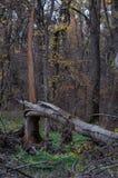Arbre cassé par la tempête pendant l'automne, coup par la foudre Photos stock