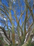 arbre coloré de neige de gomme d'écorce Photographie stock