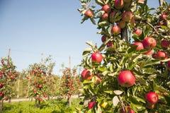Arbre complètement des pommes mûres rouges Photo libre de droits