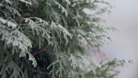 Arbre congelé de thuja dans le jour d'hiver en parc, vue en gros plan banque de vidéos
