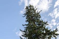 Arbre conifére le sapin contre le ciel bleu avec des nuages Photos stock