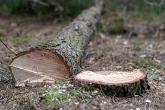 Arbre conifére réduit Tronc et rondin d'un arbre photographie stock