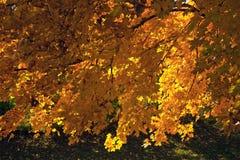 Arbre contre éclairé d'automne Images libres de droits