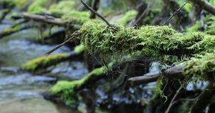 Arbre couvert de la mousse et tombé dans une rivière dans la forêt banque de vidéos