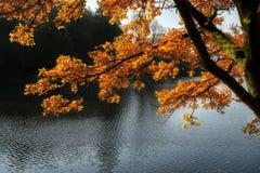 Arbre d'or éclairé à contre-jour renversant d'automne avec le lac à l'arrière-plan Photographie stock