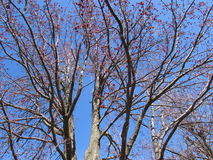 Arbre d'érable argenté en fleur contre le ciel bleu Photos libres de droits
