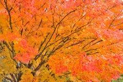 Arbre d'érable dans des couleurs oranges et rouges vibrantes photos stock