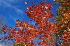 Arbre d'érable dans l'automne Photos libres de droits
