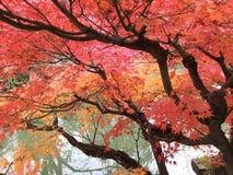Arbre d'érable en automne photos stock