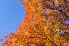 Arbre d'érable en automne avec le fond de ciel bleu Photo stock