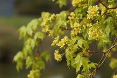 Arbre d'érable fleurissant au printemps Image stock