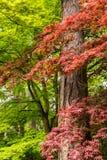Arbre d'érable japonais dans le ` s Crystal Springs Rhododendron G de Portland Photos stock