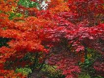 Arbre d'érable japonais rouge Photo stock