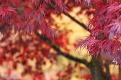 Arbre d'érable japonais rouge de fond abstrait en automne d'automne Photo stock