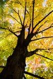 Arbre d'érable jaune en automne Photographie stock libre de droits
